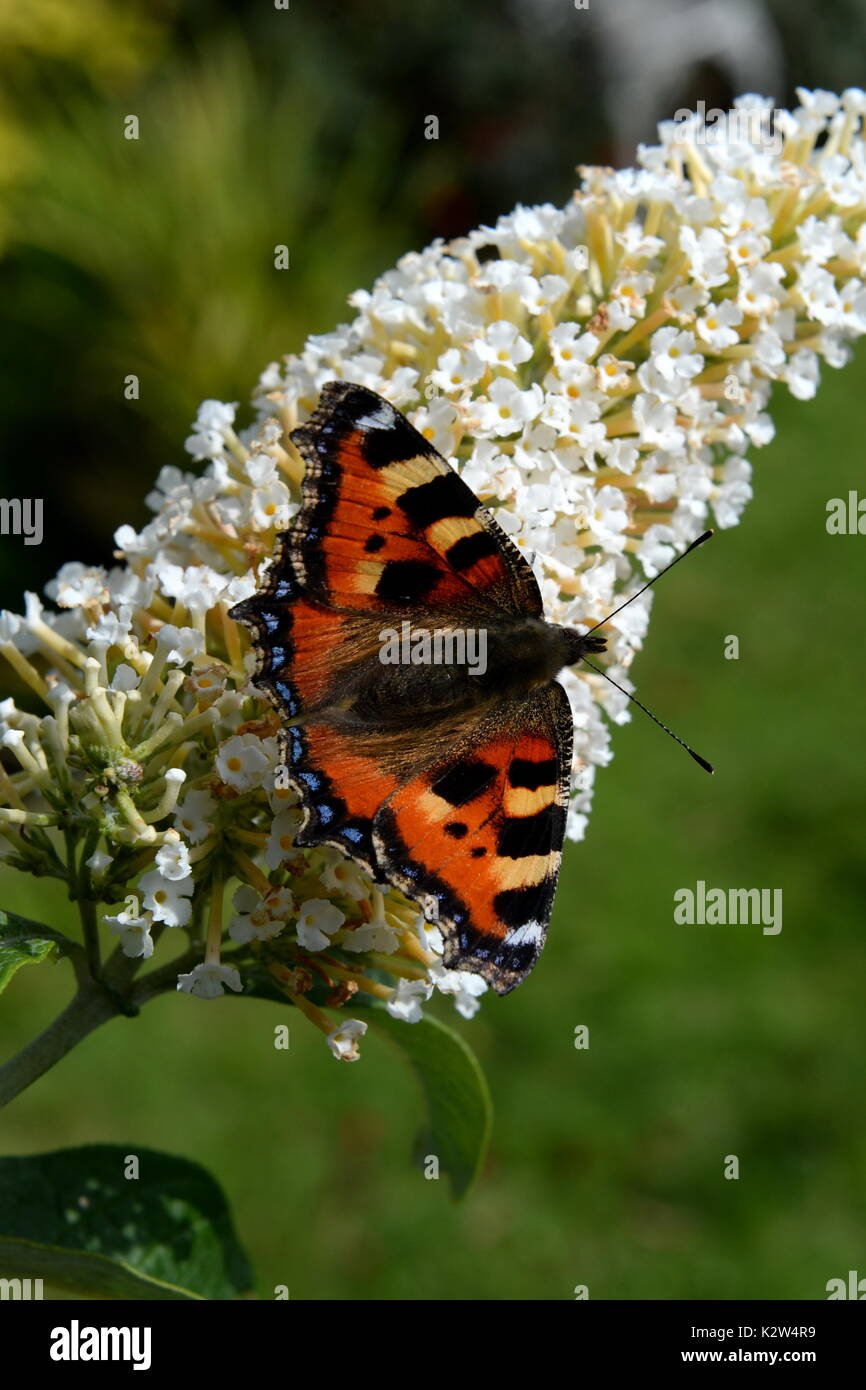small tortoiseshell on the butterfly bush -buddleia - Stock Image