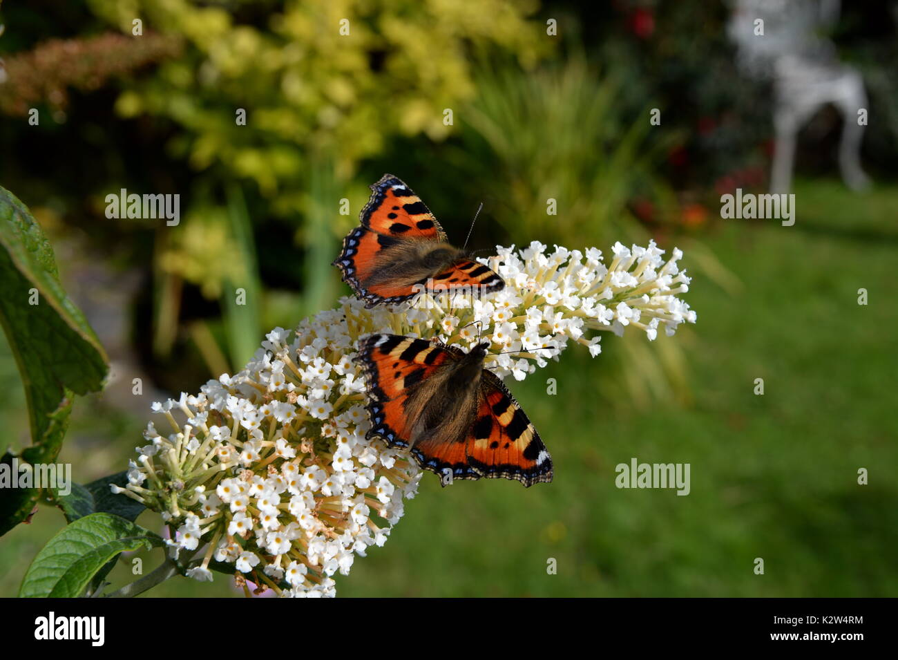 two small tortoiseshell butterflies on the butterfly bush -buddleia. Garden background - Stock Image