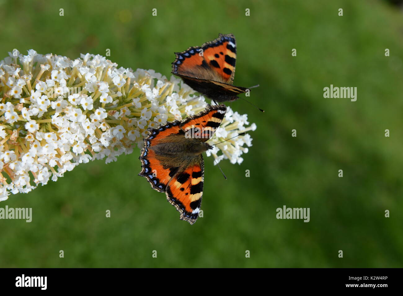 two small tortoiseshell butterflies on the butterfly bush -buddleia - Stock Image