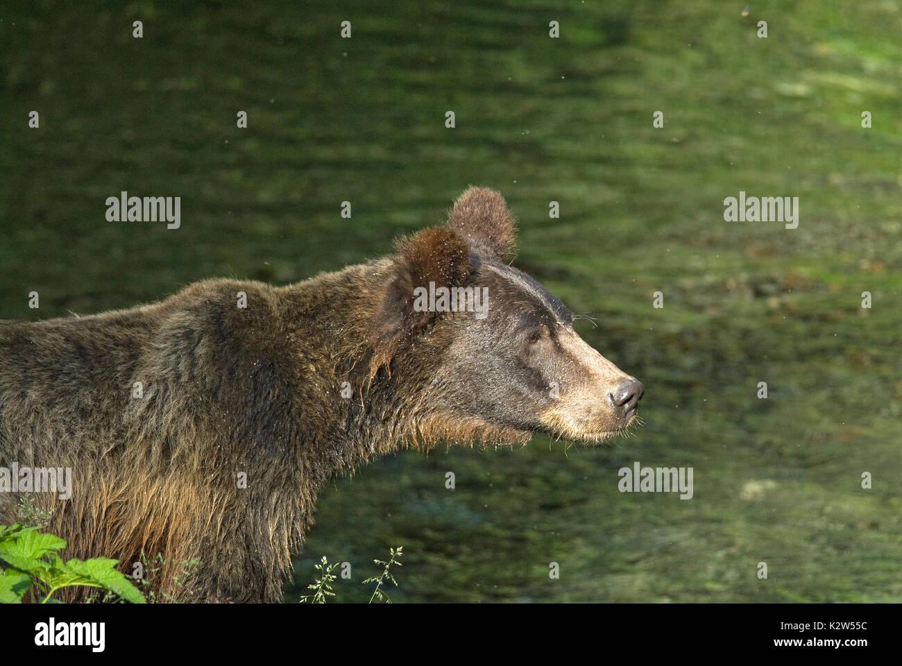 Grizzly  bear (Ursus arctos horribilis), Fish creek, Tongass National Forest, Hyder, Alaska, USA, North America - Stock Image