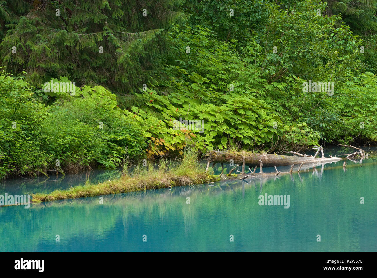 Floating trunks in the Blue Lagoon at Fish Creek, Tongass National Forest, Hyder, Alaska, USA - Stock Image
