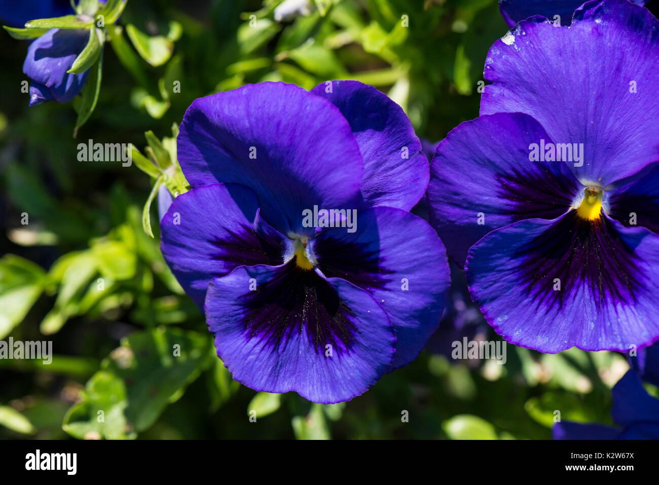 Blue pansies (Viola tricolor var. hortensis) - Stock Image