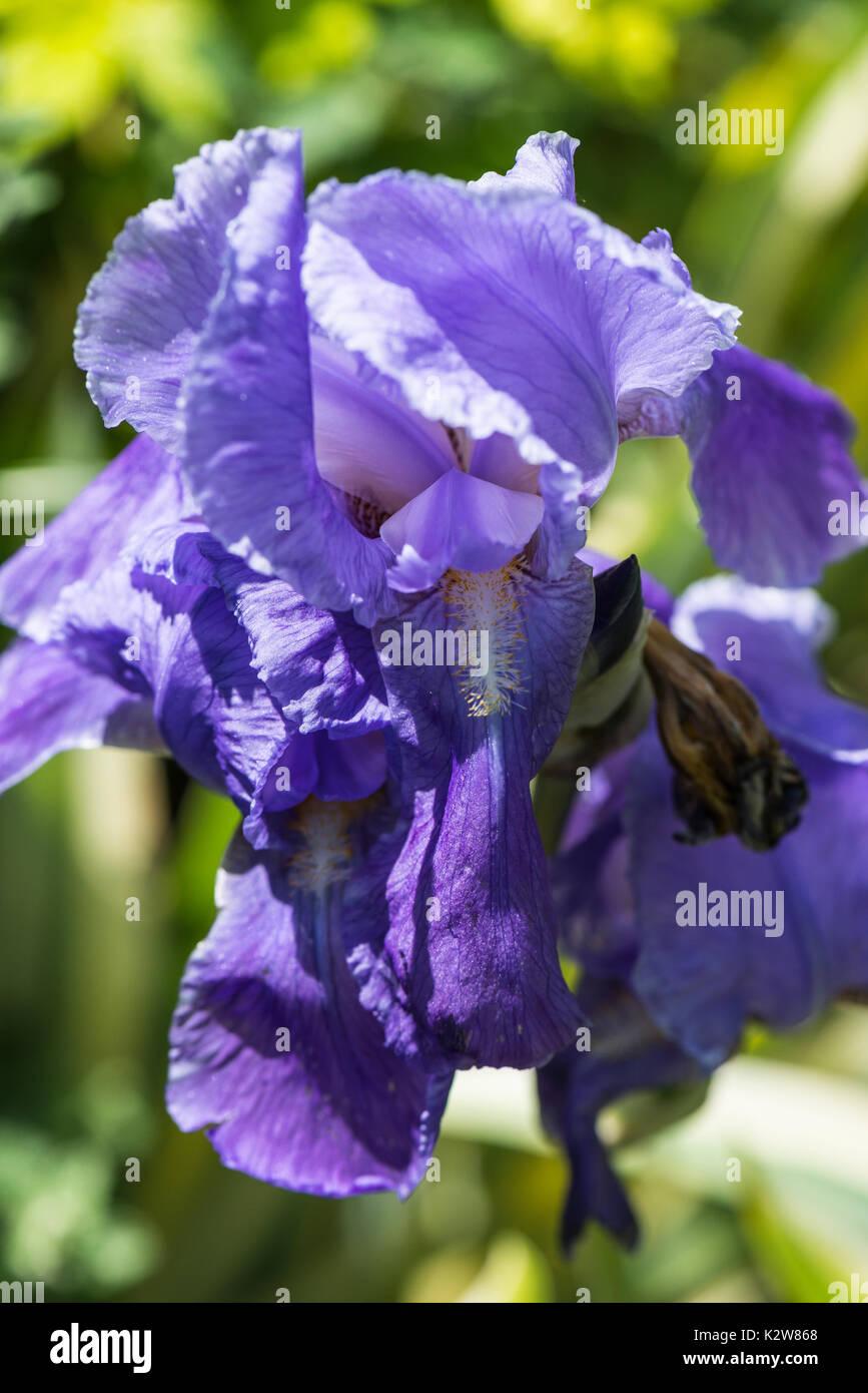 Pink purple iris flower stock photos pink purple iris flower stock a purple iris flower stock image izmirmasajfo