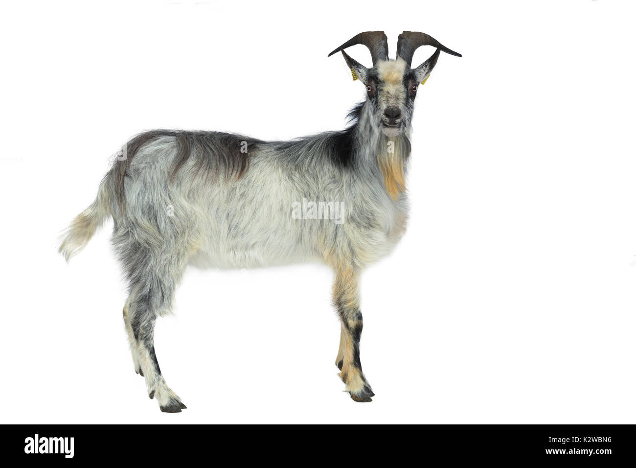 French breed, goat from France: Lorraine goat, can be outlined, here a billy goat. - Stock Image