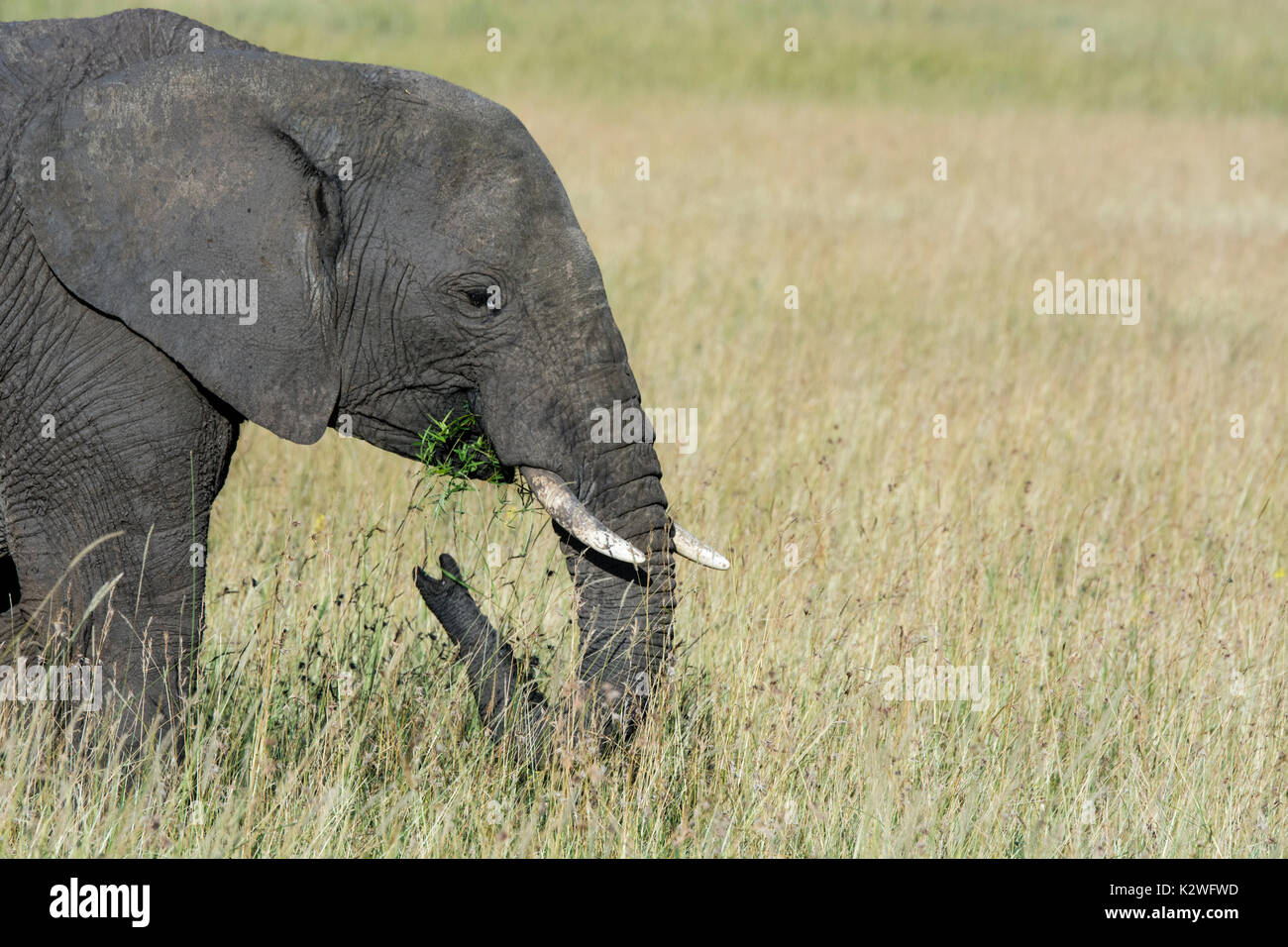Side view of a lone African Elephant, Loxodonta africana,eating grass, Masai Mara National Reserve, Kenya, East - Stock Image