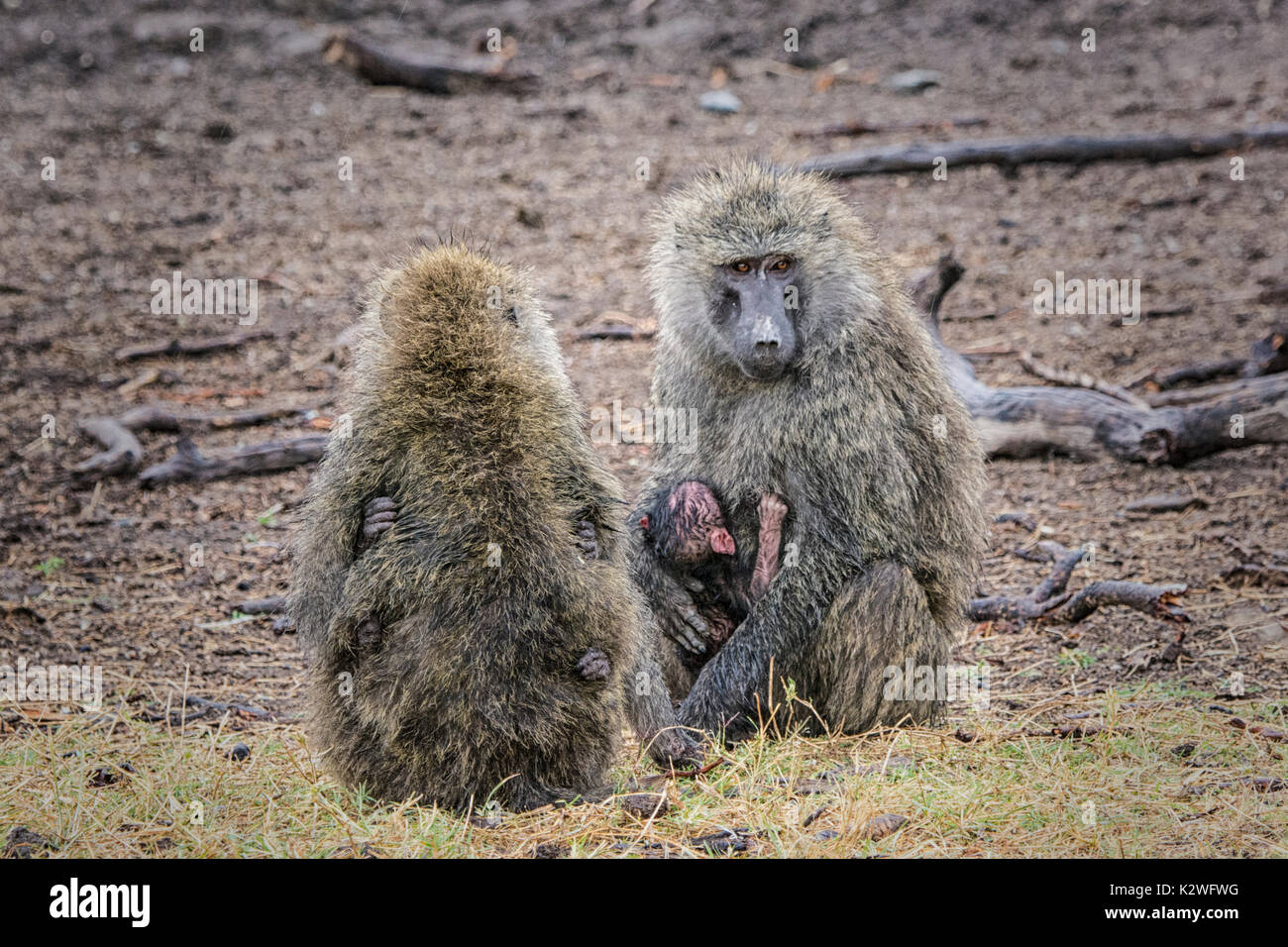 Two mother Olive Baboons, Papio anubis, holding tiny babies with each baby holding on with hands, Ol Pejeta Conservancy, Northern Kenya, East Africa Stock Photo
