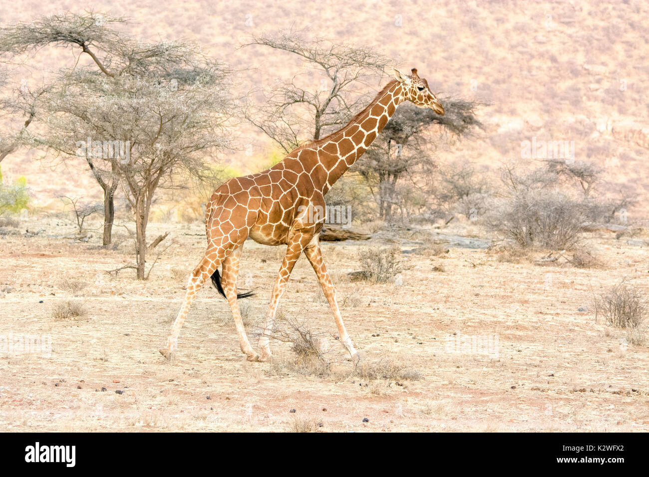 Side view of a solitary Reticulated Giraffe, Giraffa camelopardalis reticulata, walking in Buffalo Springs National Reserve, Kenya, East Africa Stock Photo