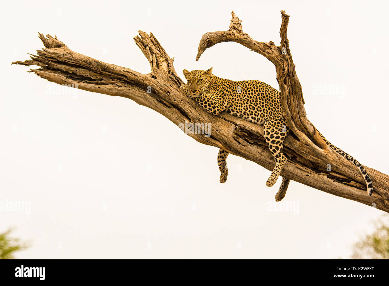 Solitary African Leopard, Panthera pardus, resting on a tree branch with legs dangling, in the Buffalo Springs National Stock Photo