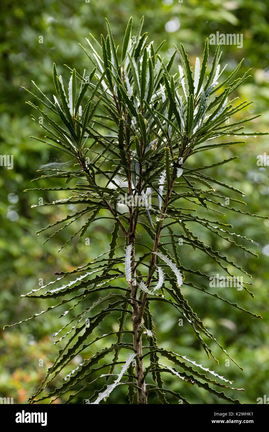 Toothed lancewood tree, Pseudopanax ferox, making the transition from fiercely toothed juvenile foliage to shorter, - Stock Image