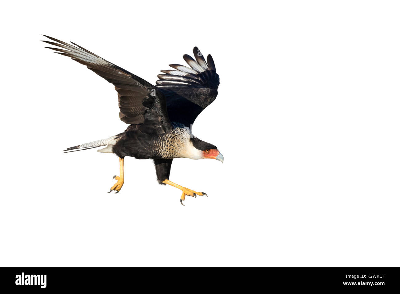 Northern crested caracara (Caracara cheriway) taking off, isolated on white background. - Stock Image
