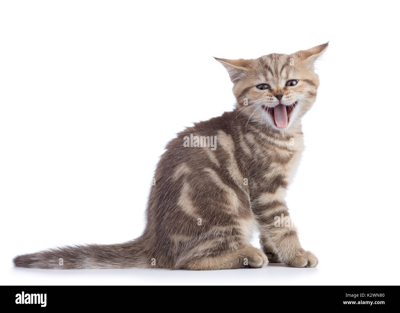 Small cat kitten with open mouth yawning. Studio shot. - Stock Image