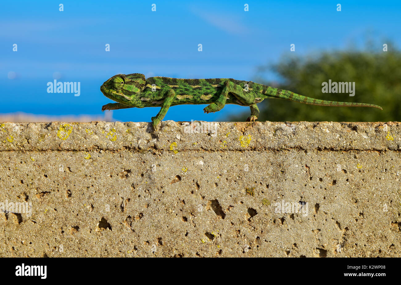 A Mediterranean Chameleon keeping its balance as it tip toes on a thin brick wall in Malta, Mediterranean. - Stock Image
