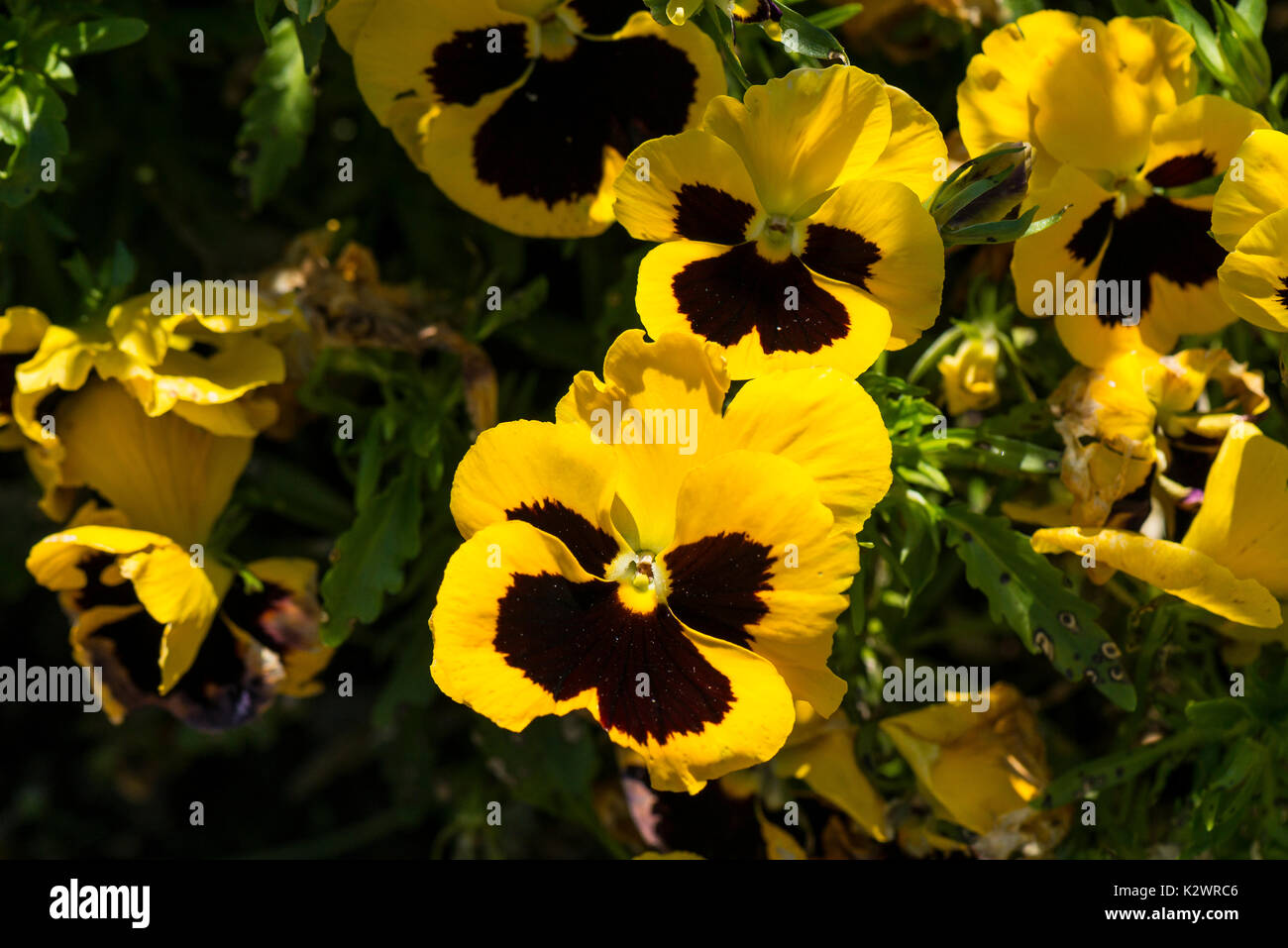 Yellow pansies (Viola tricolor var. hortensis) - Stock Image