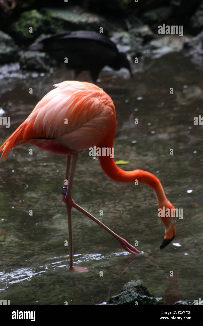 Flamingos vary in color from the lightest pinks that are close to white to a dark almost red. Stock Photo