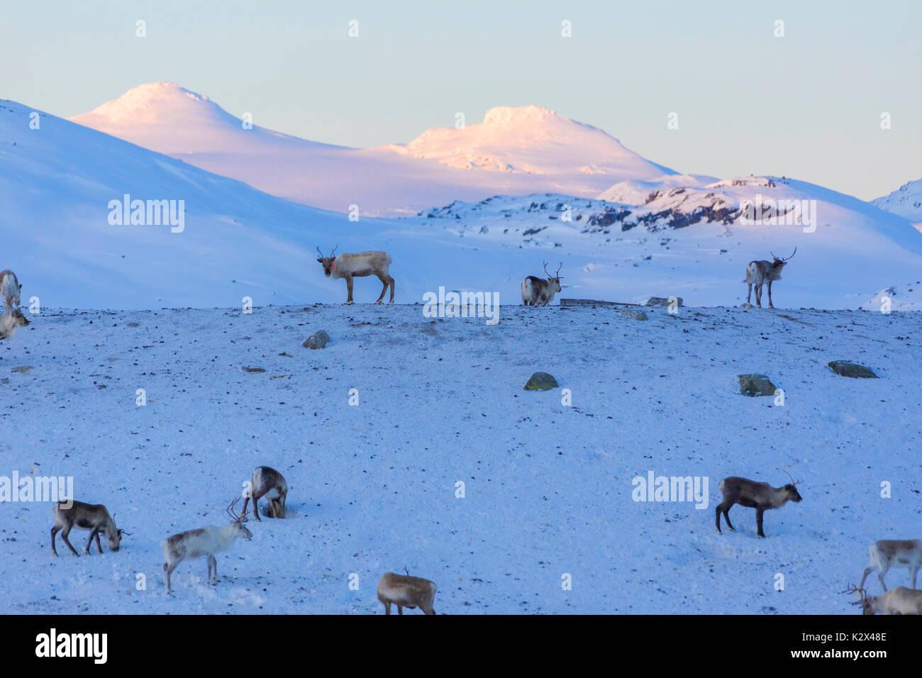 Reindeer in the snow, Abisko, Kiruna Municipality, Norrbotten County, Lapland, Sweden - Stock Image
