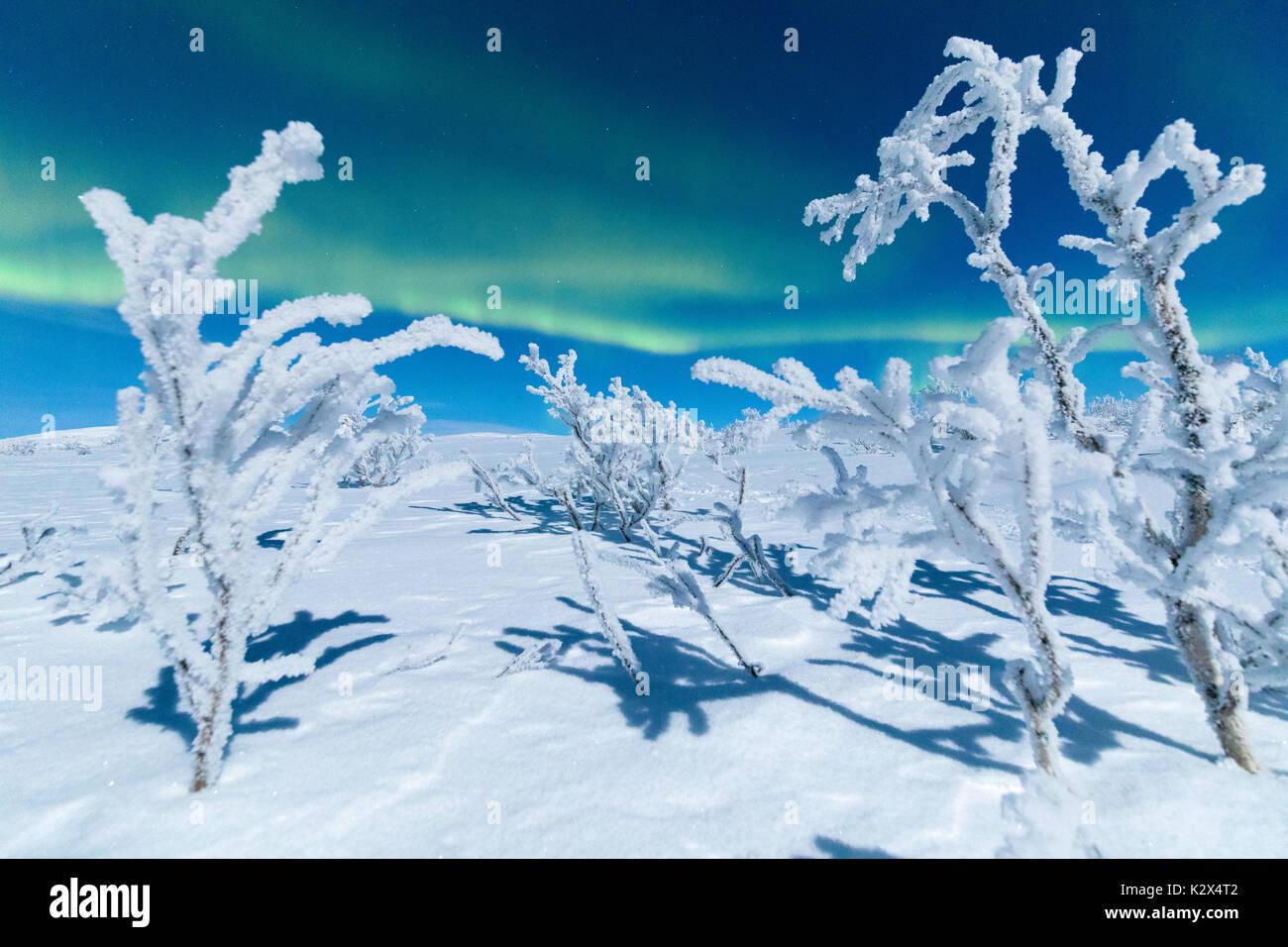Close up of frozen trees under Northern Lights, Abisko, Kiruna Municipality, Norrbotten County, Lapland, Sweden - Stock Image