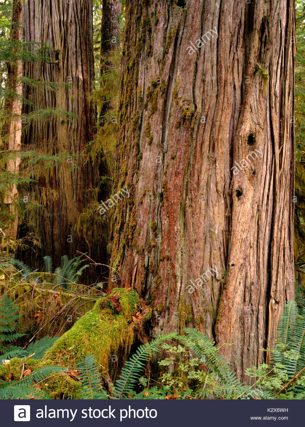 Western Red Cedar Tree in Old Growth Forest, Mount Baker-Snoqualmie National Forest, Washington State Stock Photo