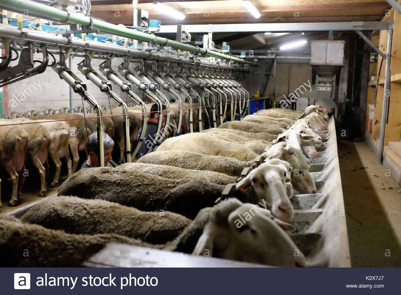 France, Nouvelle-Aquitaine, Pyrenees Atlantiques, Fichous Riumayou, un moment tres apprecie des brebis, le moment de la traite. *** A very appreciated moment for the sheep, the milking time, France, Nouvelle-Aquitaine, Pyrenees Atlantiques, Fichous Riumayou - Stock Image