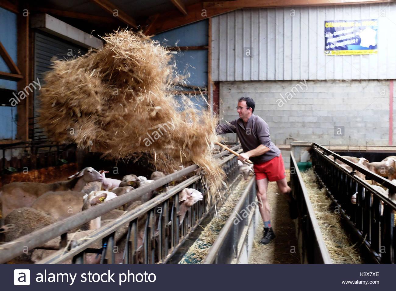 France, Nouvelle-Aquitaine, Pyrenees Atlantiques, Fichous Riumayou, le berger distribue de la paille pour refaire la literie des brebis. *** shepherd distributes straw for bedding remake of the sheep, France, Nouvelle-Aquitaine, Pyrenees Atlantiques, Fichous Riumayou - Stock Image