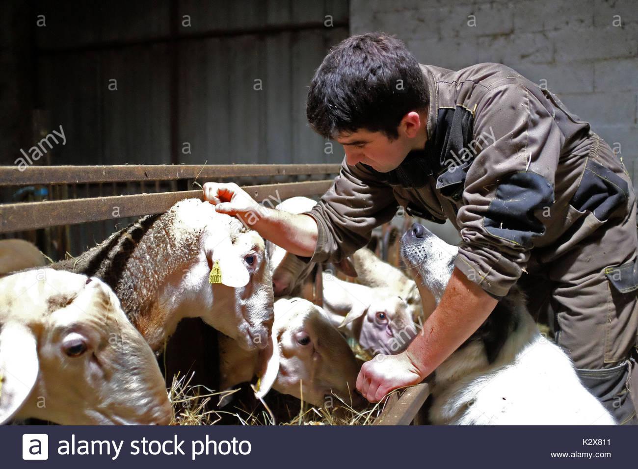 France, Nouvelle-Aquitaine, Pyrenees Atlantiques, Fichous Riumayou, moment de tendresse entre le fermier et ses betes. *** Moment of tenderness between the farmer and his beasts, France, Nouvelle-Aquitaine, Pyrenees Atlantiques, Fichous Riumayou - Stock Image