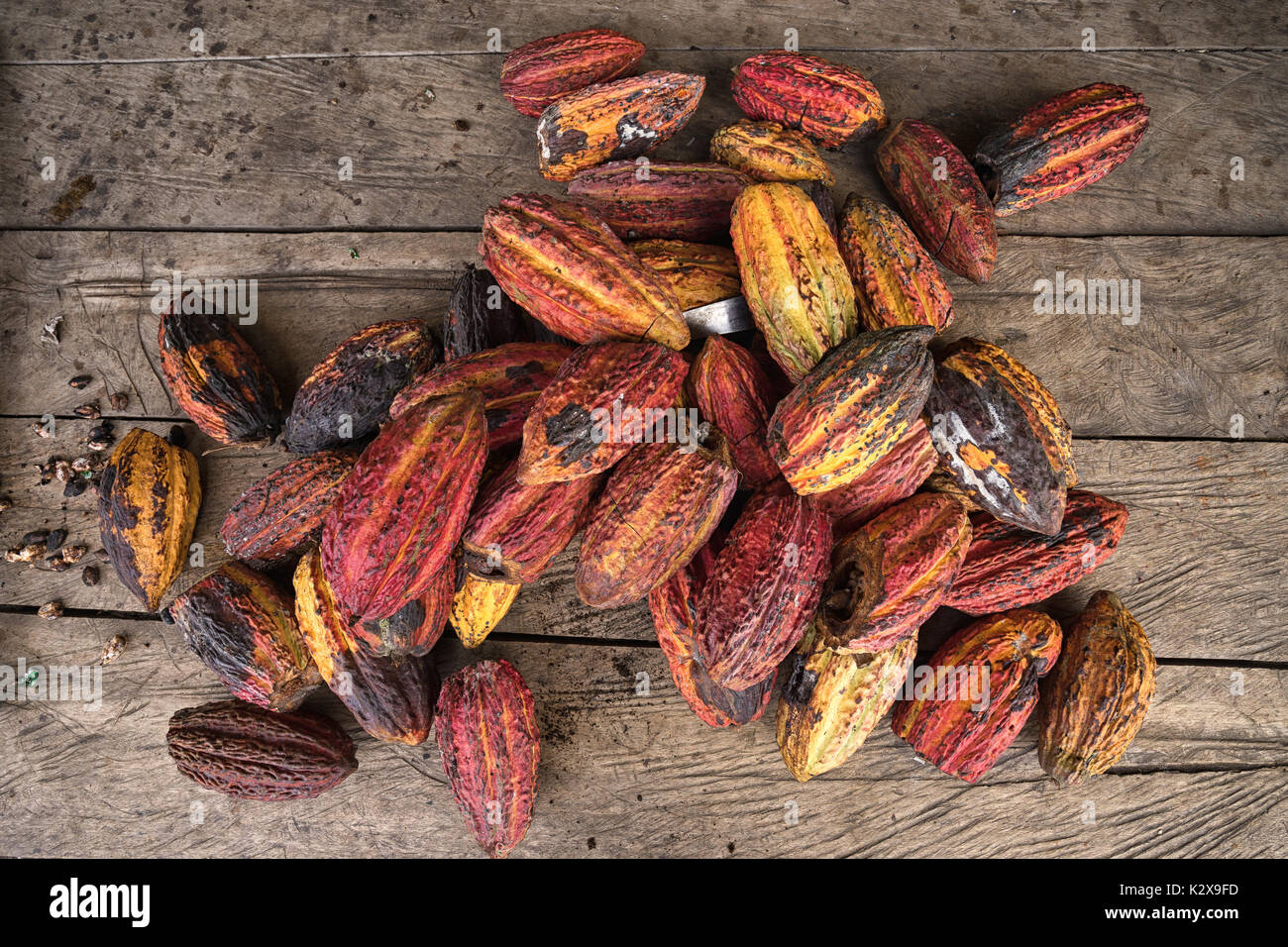whole cocoa pods in the Amazon area of Ecuador - Stock Image