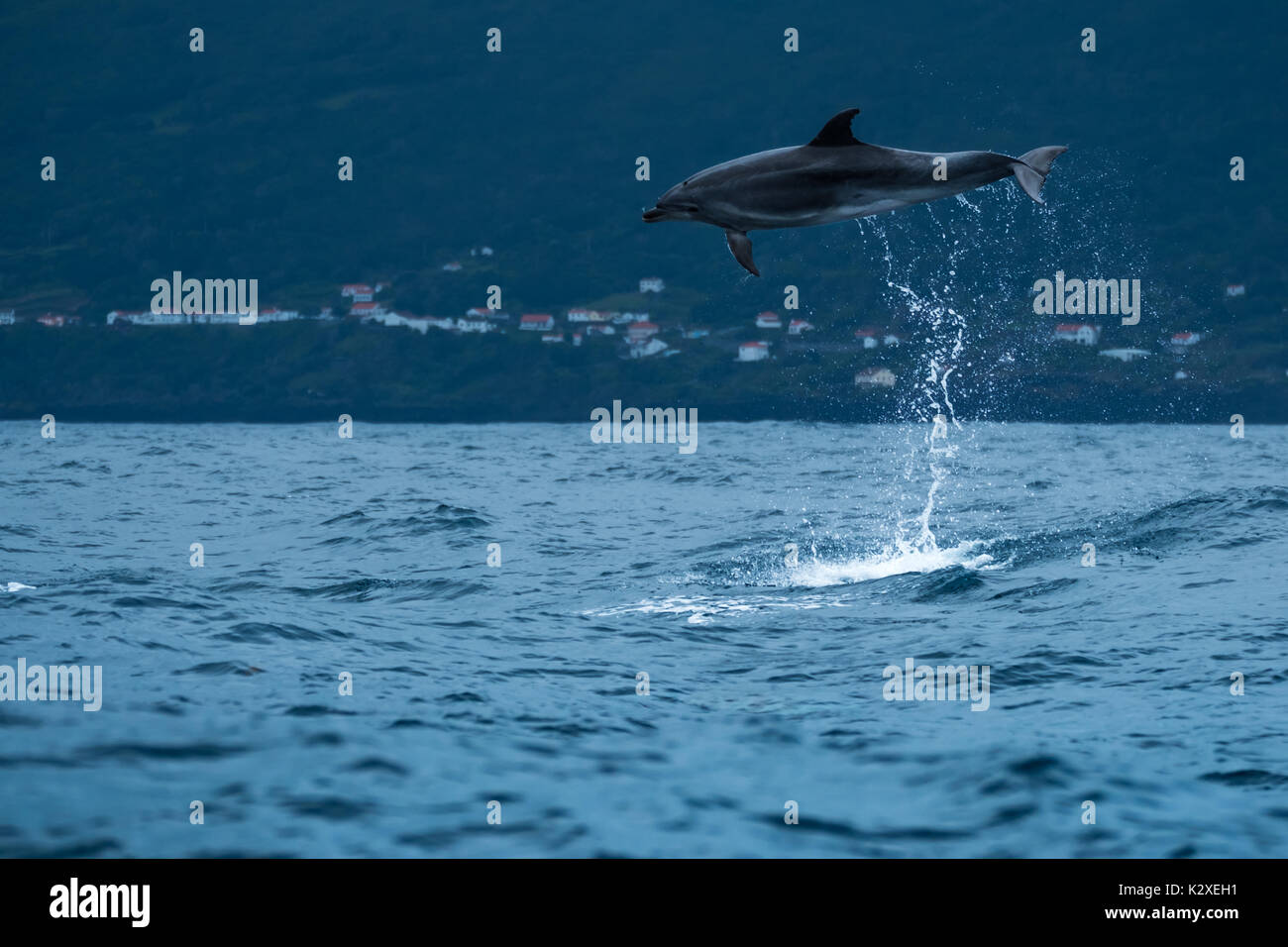 A bottlenose dolphin (Tursiops truncatus) leaps w metres out of the water in the Atlantic Ocean near to Pico Island in the Azores archipelago. - Stock Image