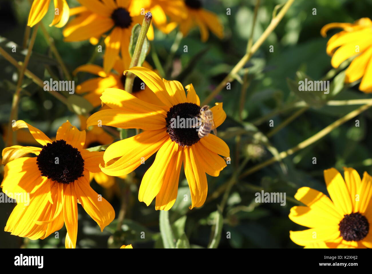 Rudbeckia nitida, herbstonne - Pollinator Bee on a sunny day at village. - Stock Image