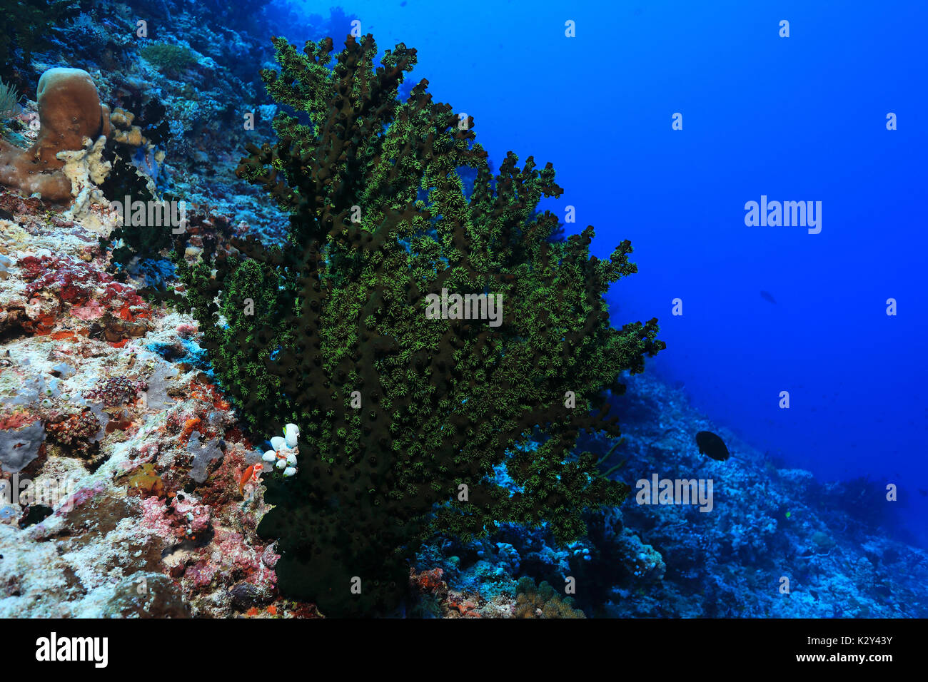Black sun coral (Tubastrea miracanthus) underwater in the coral reef of the indian ocean - Stock Image