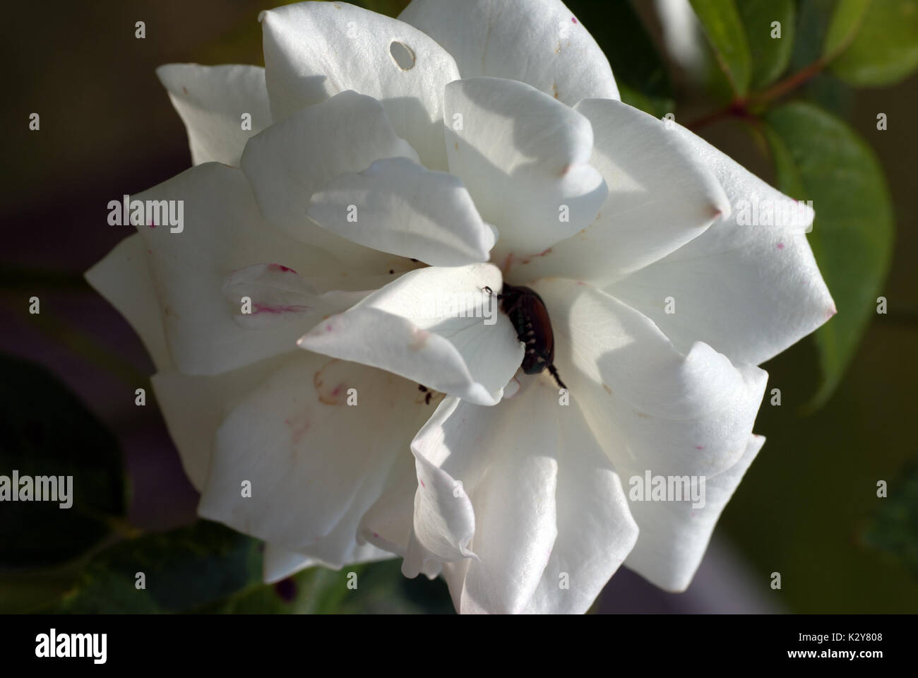 Japanese beetle eating a white rose in full bloom - Stock Image