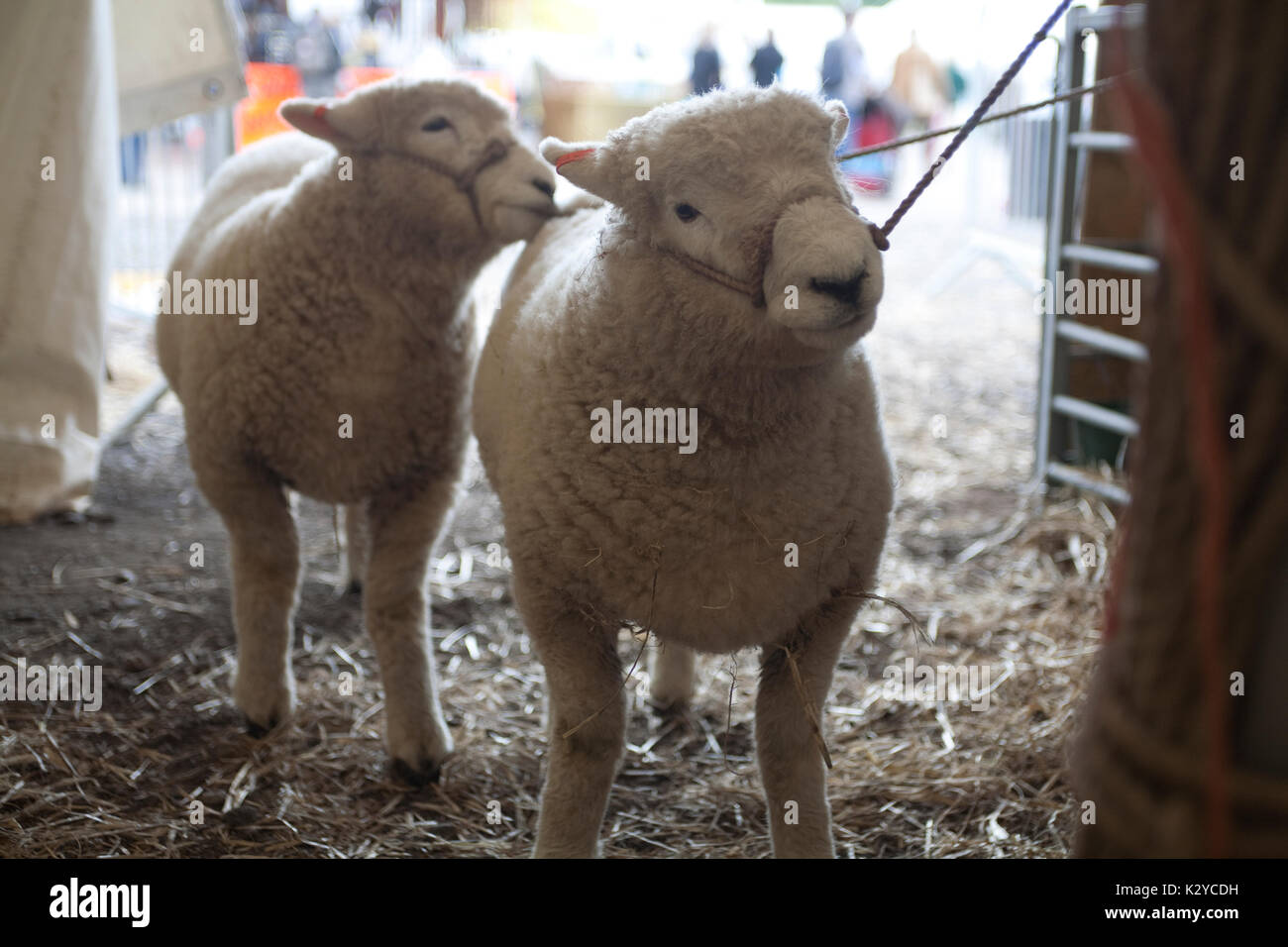 Sheep, Devon County Show 2009 - Stock Image