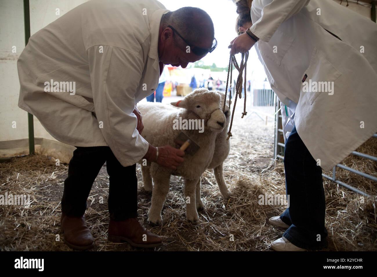 Devon County Show 2009, Sheep - Stock Image