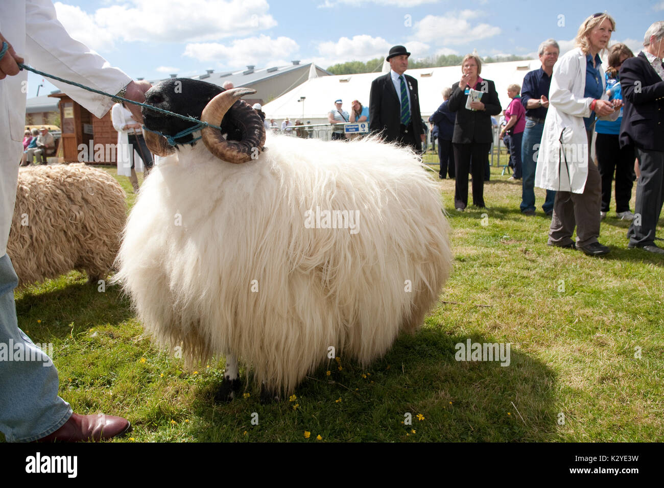 Devon County Show 2009, Judging sheep, - Stock Image