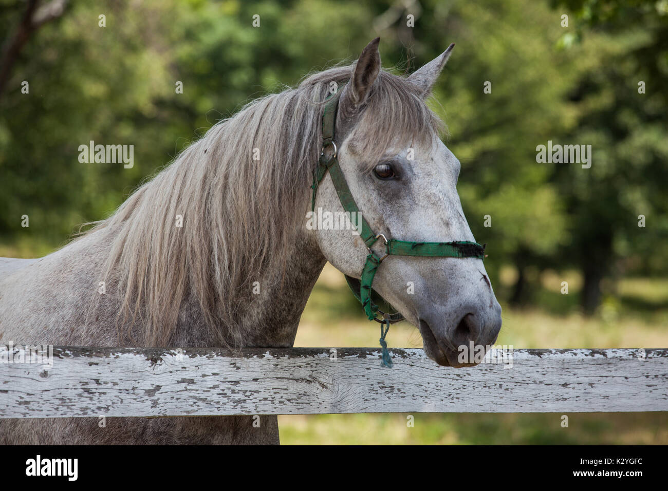 Lipizzaner horses originally coming from the small village of Lipica in Slovenia. Stallions and Mayors are still breed for the centuries. - Stock Image