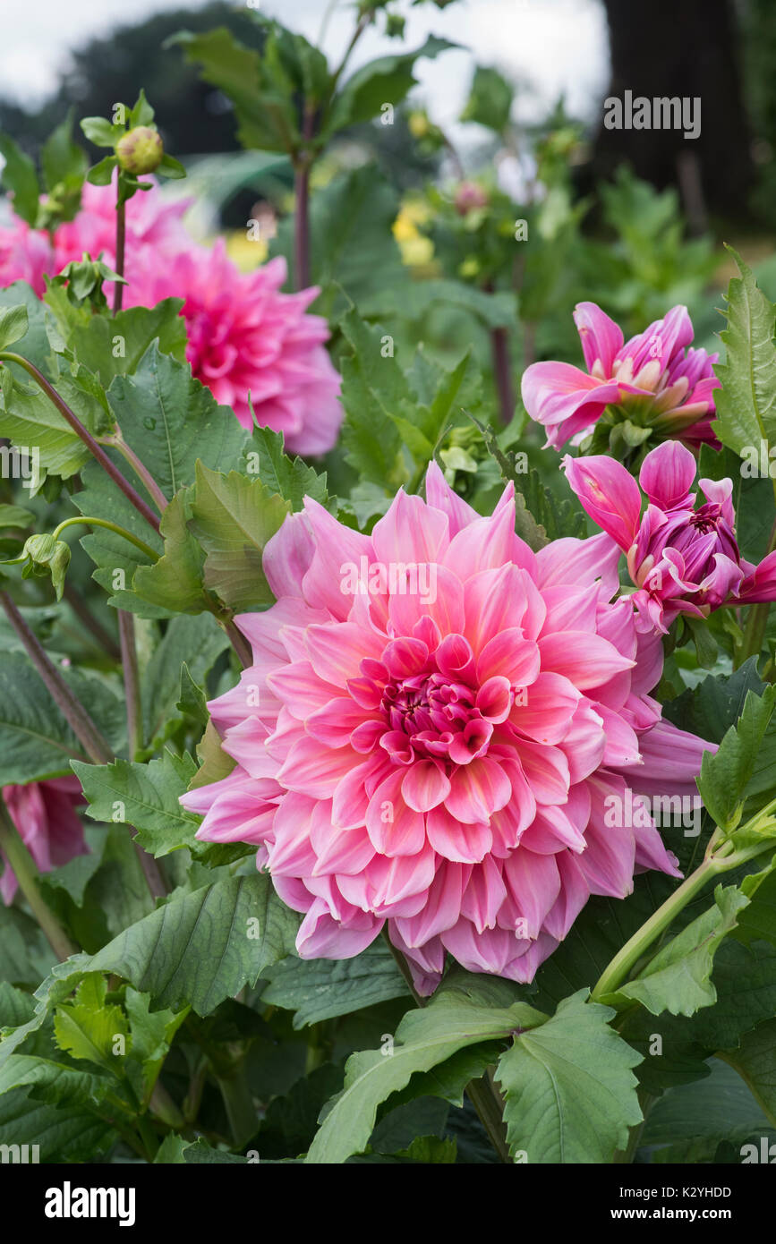 Dahlia 'Otto's thrill' flower - Stock Image