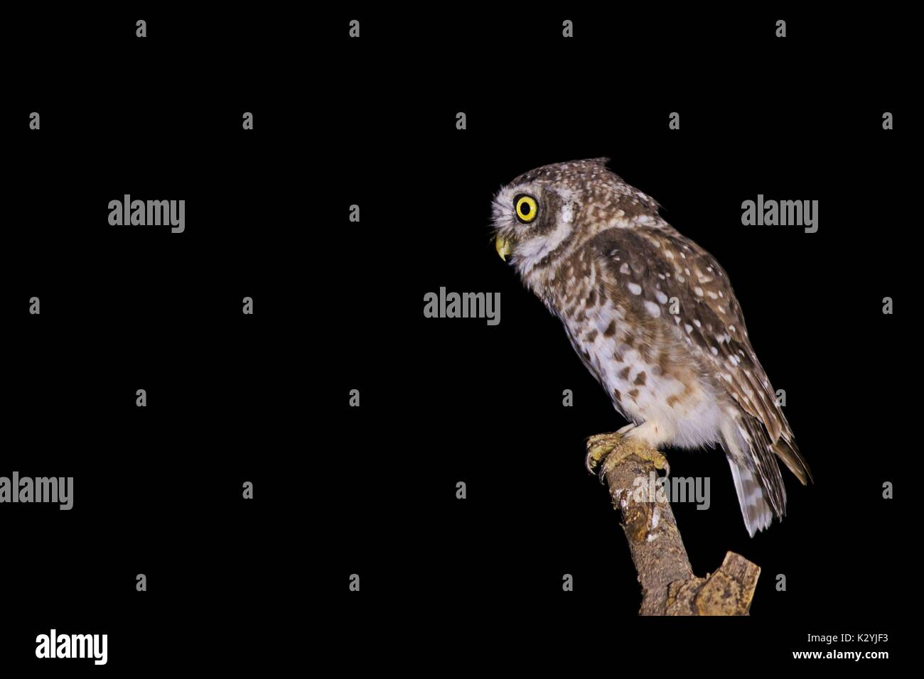 Spotted Owlet looking for hunt - Stock Image