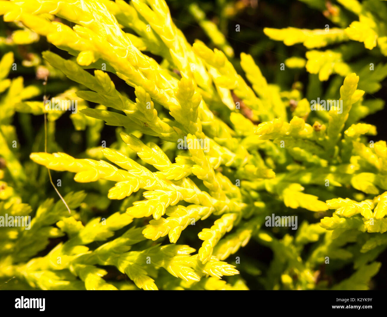close up texture of bright conifer tree plant background Pinophyta; England; UK - Stock Image