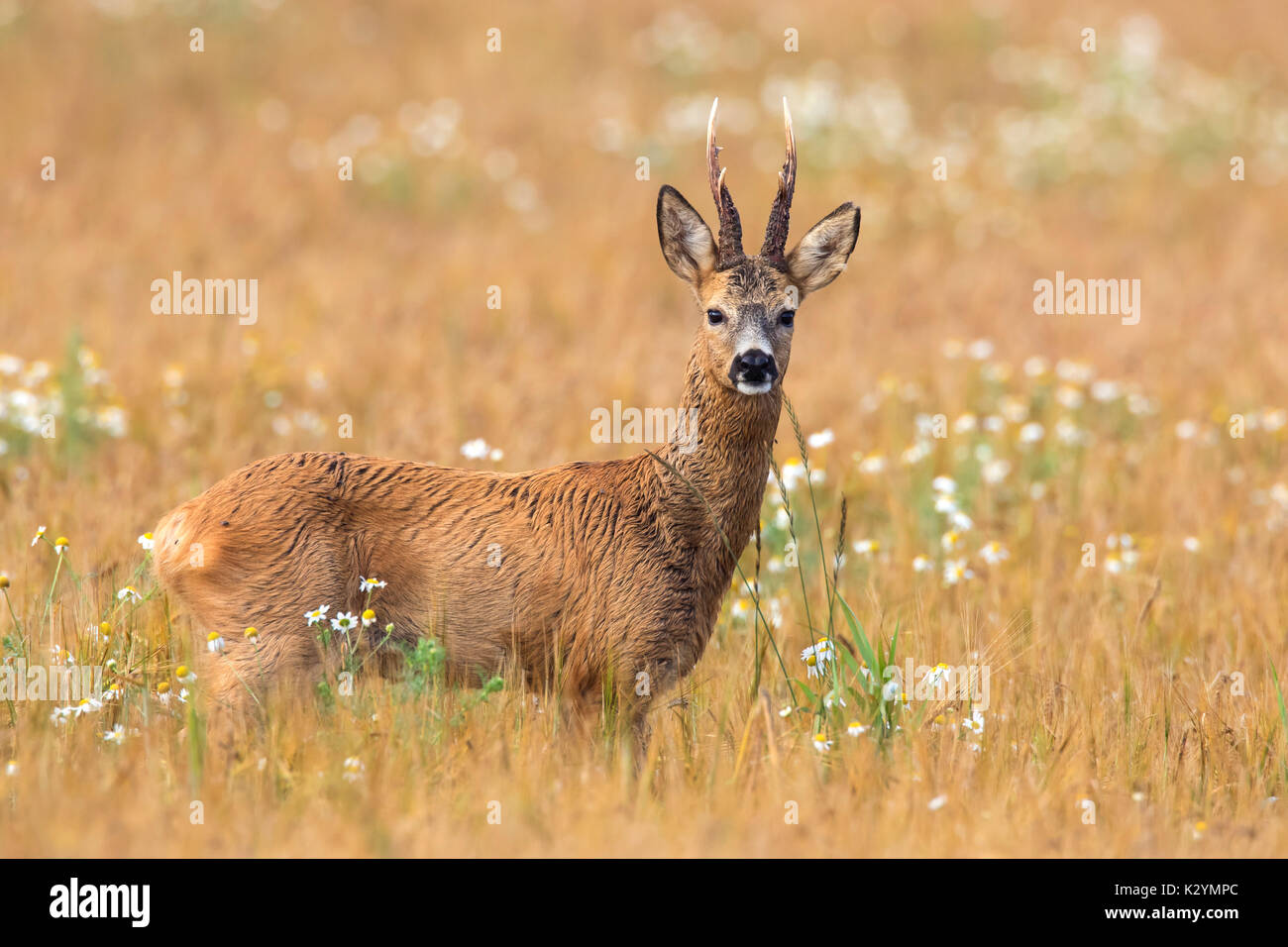 European roe deer (Capreolus capreolus) buck foraging in cereal field in summer - Stock Image