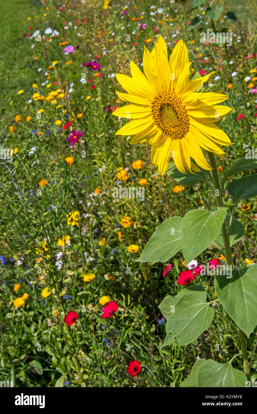 Sunflower and colourful wildflowers in wildflower zone bordering grassland, planted to attract and help bees, butterflies and other pollinators - Stock Image