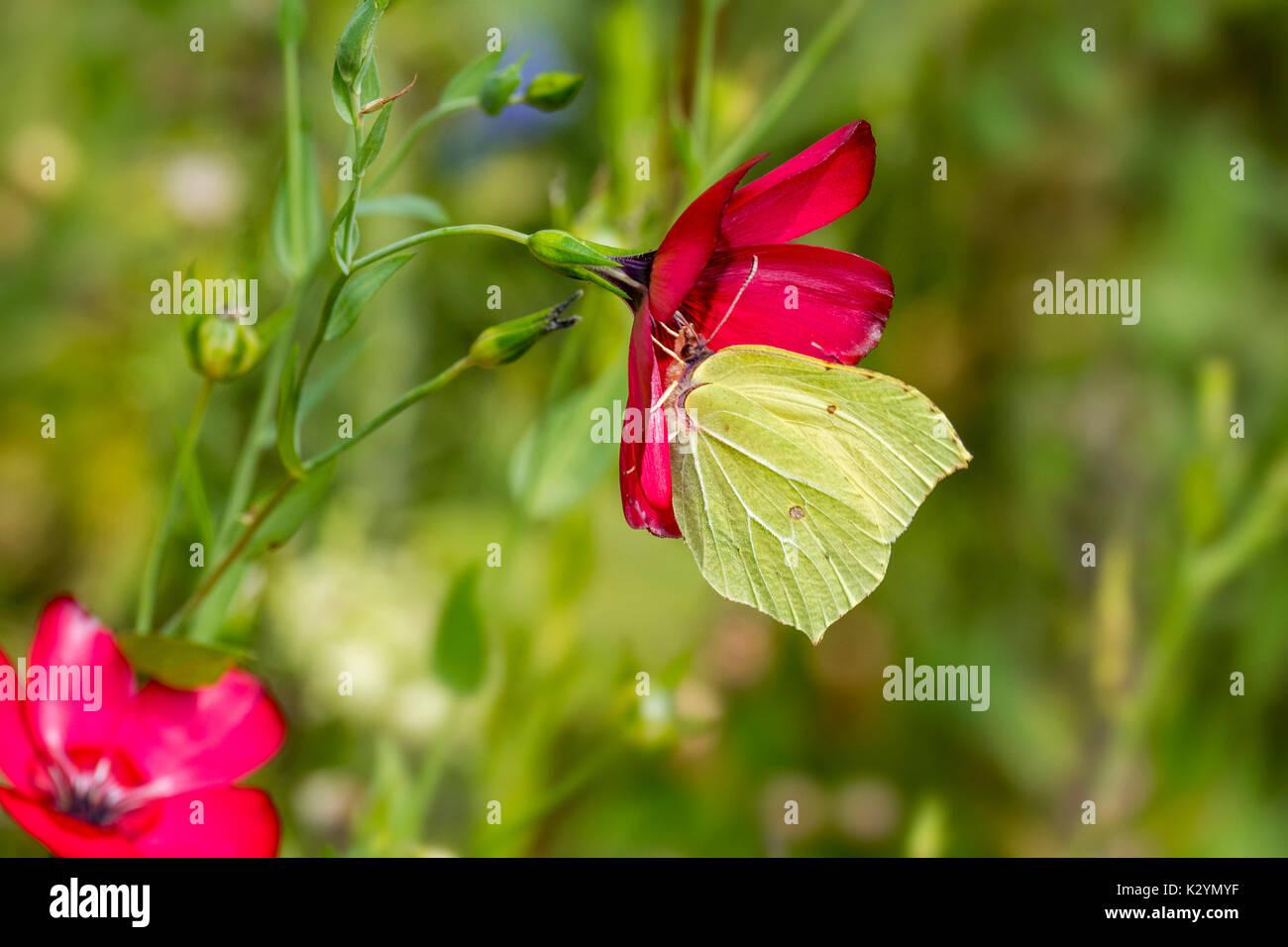 Common brimstone (Gonepteryx rhamni) feeding on nectar from flower in meadow - Stock Image