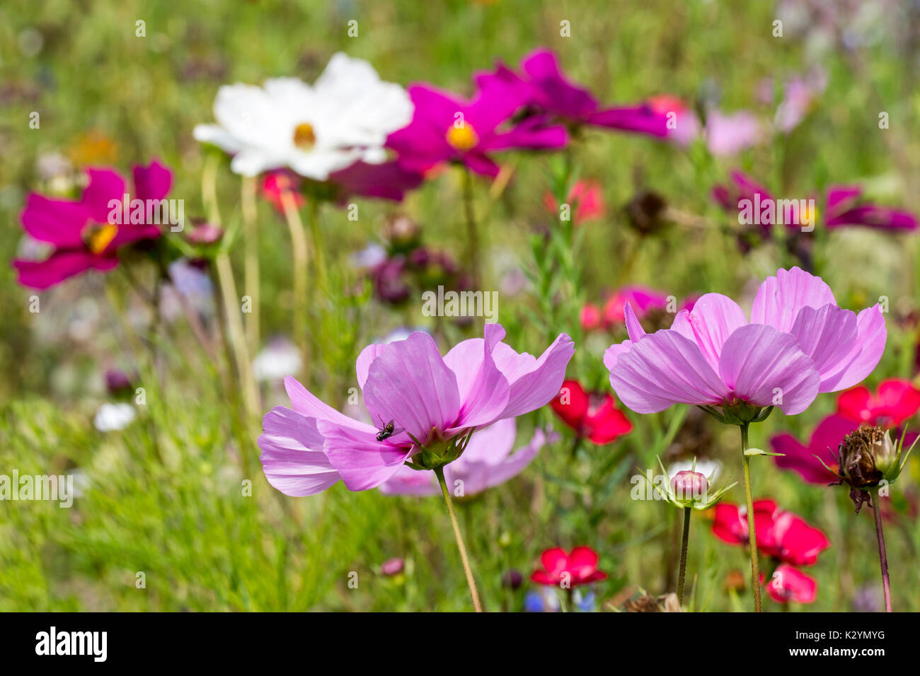 Mixture of colourful wildflowers in wildflower zone bordering grassland, planted to attract and help bees, butterflies and other pollinators - Stock Image