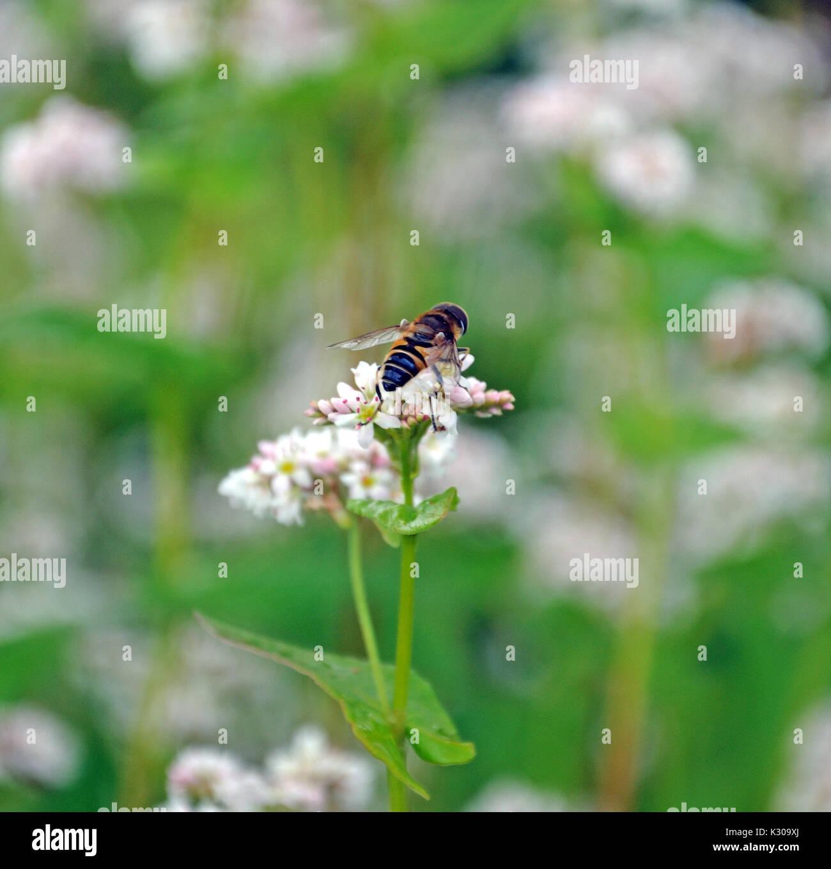 bee on buckwheat blossom - Stock Image
