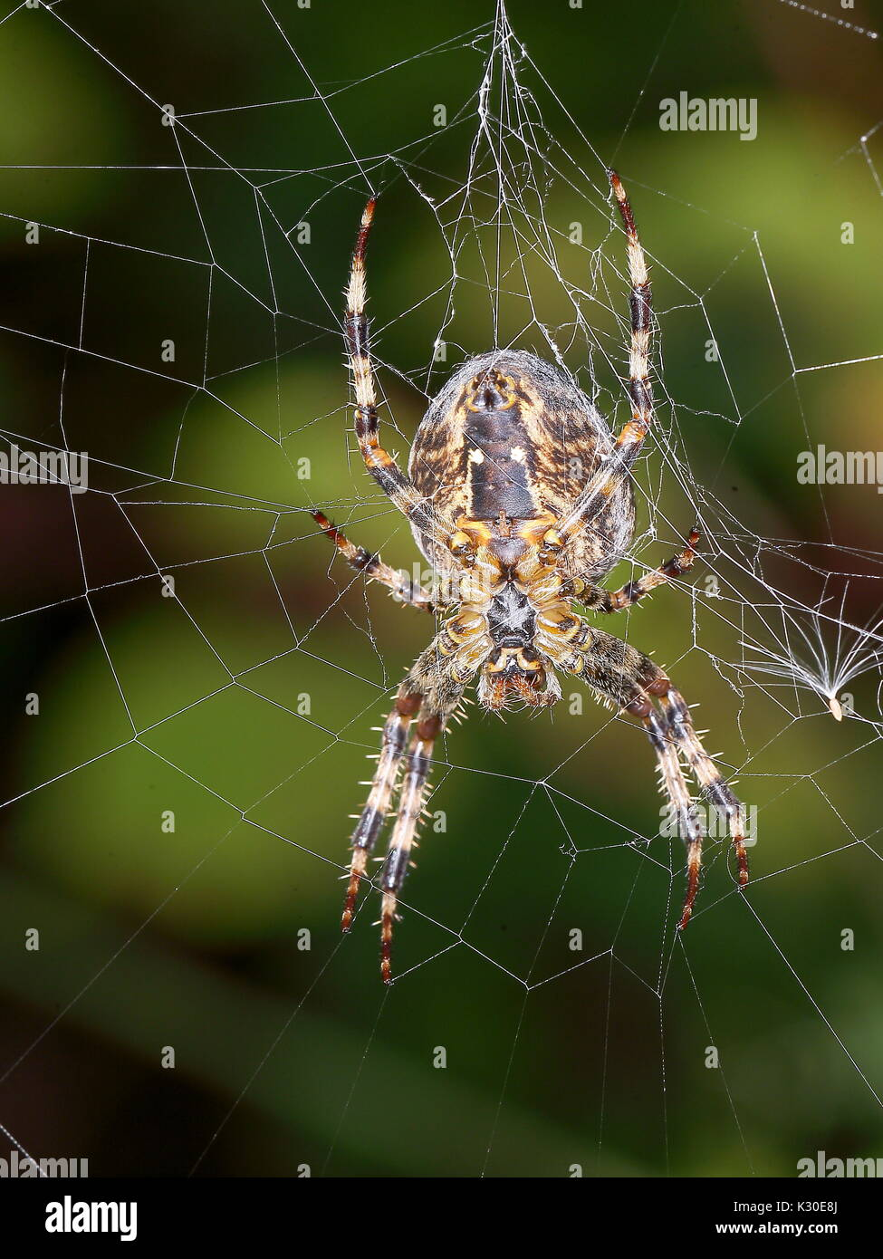 Large Spider on web - Stock Image