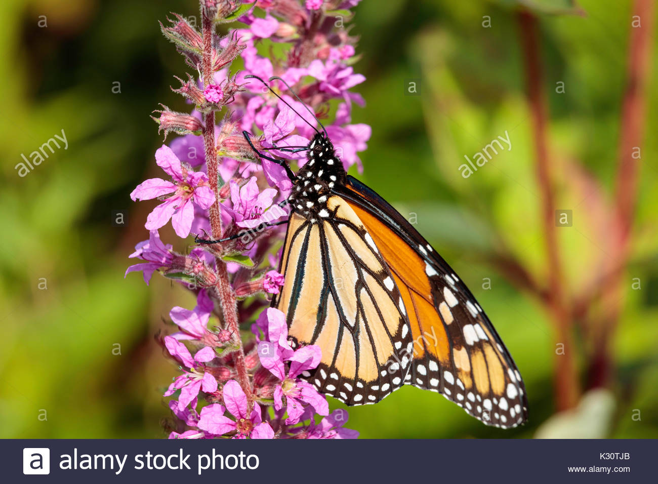 Monarch Butterfly Danaus plexippus nectaring feeding on Lythrum salicaria in Eastpoint Park in Toronto Ontario Canada - Stock Image