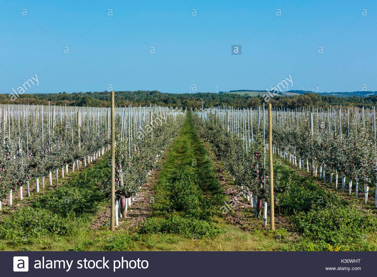 High density commercial apple orchard on trellises on farm near Bowmanville Ontario Canada - Stock Image