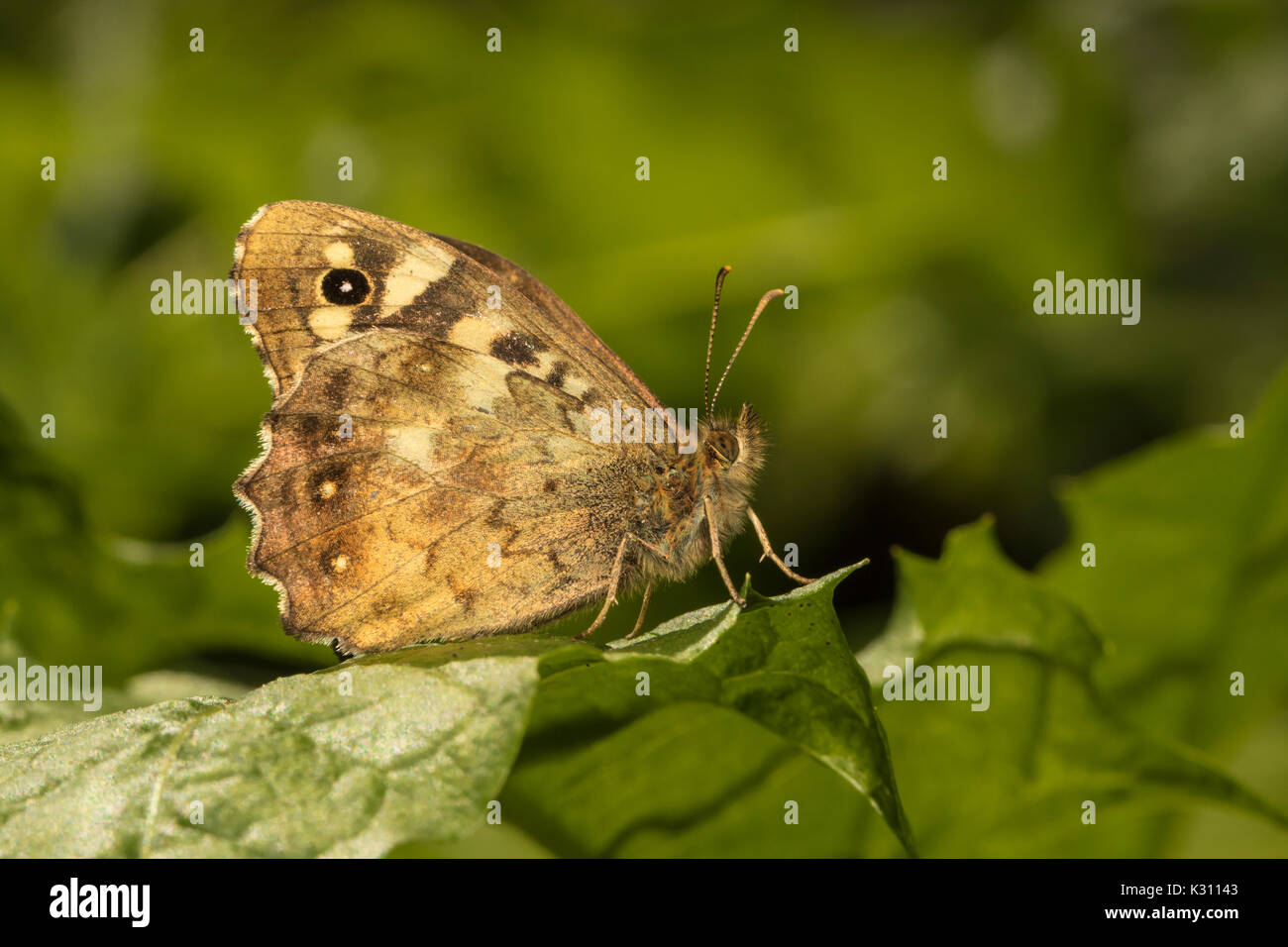 Speckled Wood butterfly (Pararge aegeria) perched on leaf, Cambridgeshire, England - Stock Image