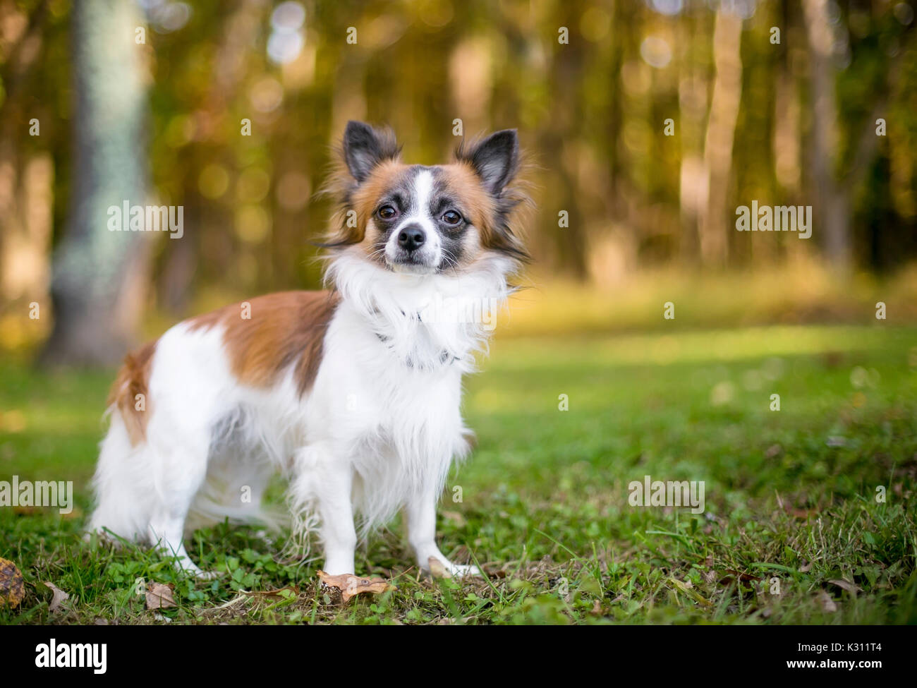 Long Haired Chihuahua High Resolution Stock Photography And Images Alamy