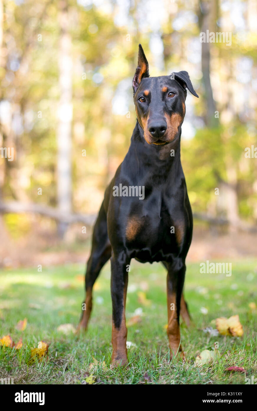 a black and red doberman pinscher dog standing outdoors stock photo