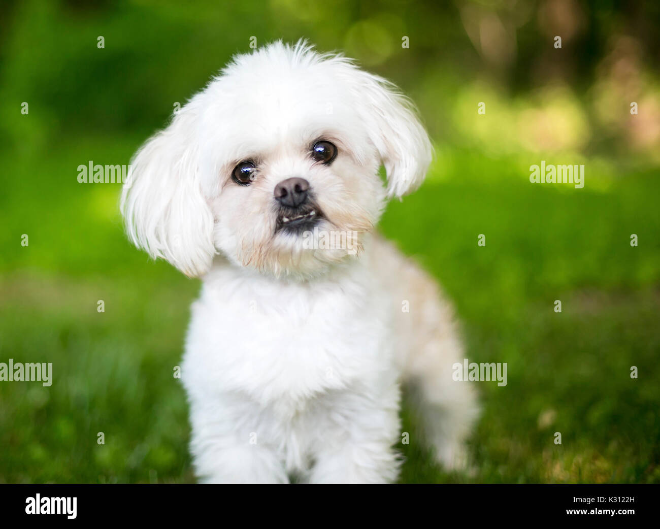 A small fluffy white mixed breed dog outdoors - Stock Image