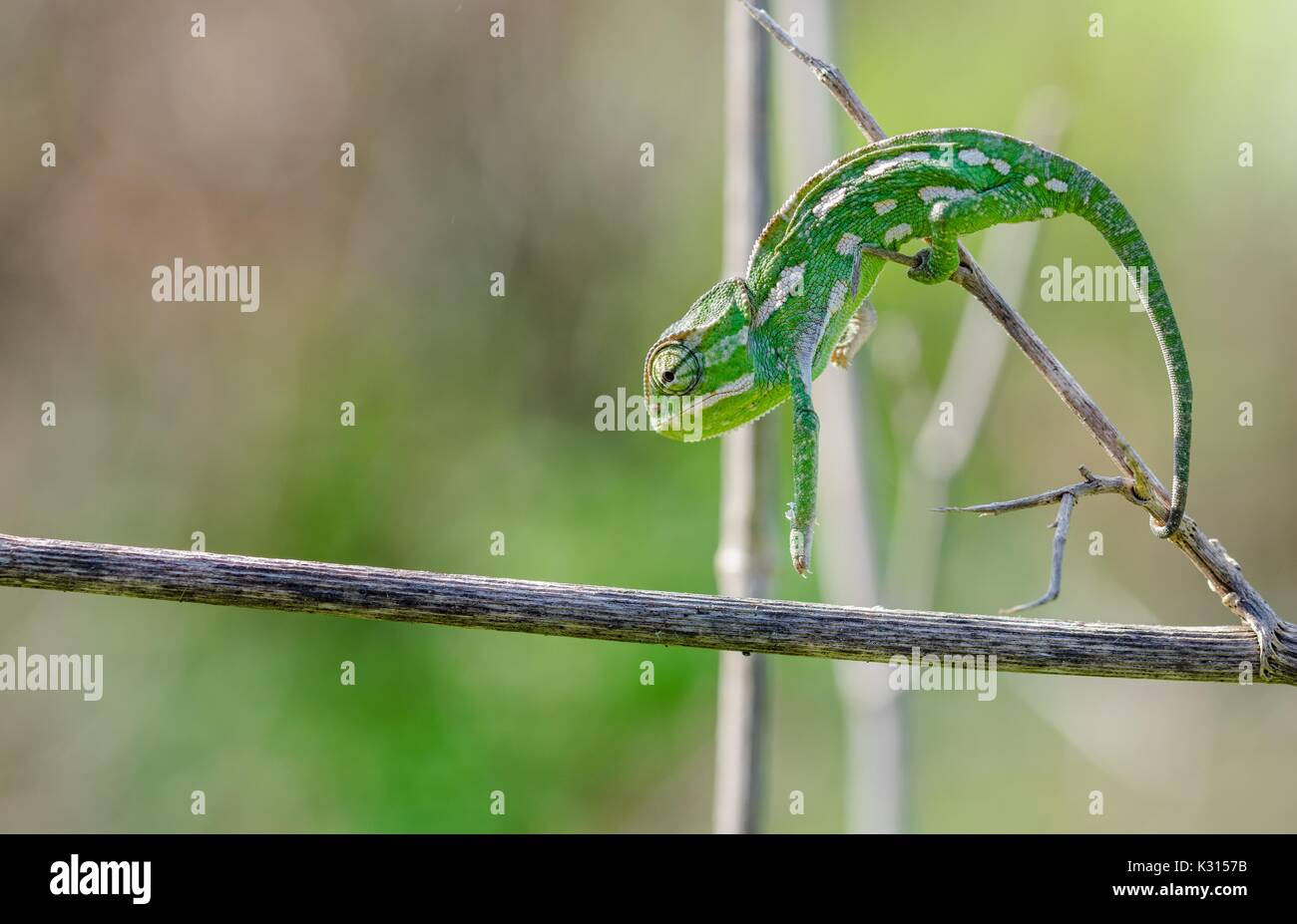 A Mediterranean chameleon stretches and forms an arch as it moves on a fennel branch in Malta. - Stock Image