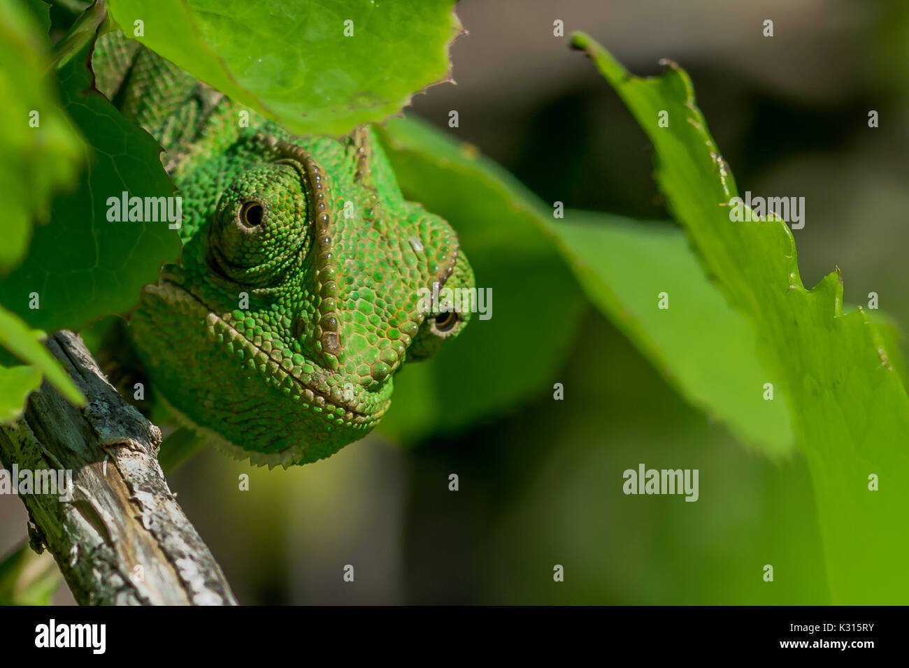 A well camouflaged Mediterranean Chameleon (Chamaeleo chamaeleon) peeking from behind some leaves. Malta - Stock Image